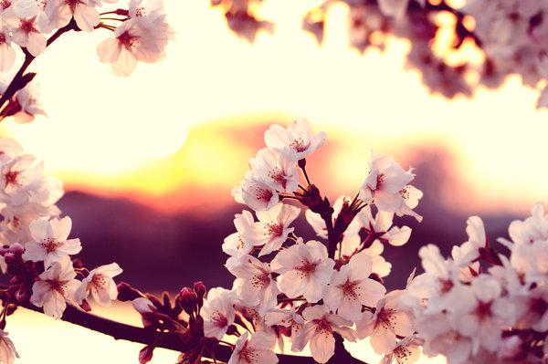 cherry_blossom_sunset_by_jyoujo-d4ef6qm